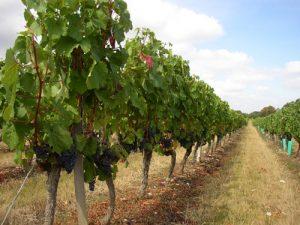 die Weinberge entlang der D656 im Westen von Cahors sind weltweit berühmt für ihre trockene Note