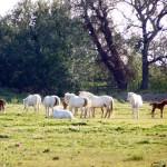 die Camargue ist nicht nur Europas größtest Reis-Anbaugebiet sondern auch Heimat der weissen Wildpferde und schwarzen Stiere