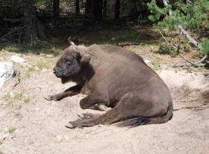 ruhendes Bison im Naturreservat