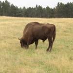 auf 200 Hektar bewaldetem Gelände hat die Herde von gut 30 Tieren im Reservat Platz
