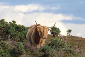 Schottischer gehts nicht - das Highland Rind, Foto © hmg 2012
