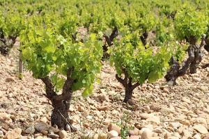 Wichtig für die besondere Note des Chateauneuf du Pape: der steinige Boden