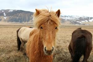 Island Ponny´s sind auf der Insel allgegenwärtig