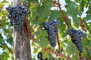 Die Merlot-Traube ist das Herzstück der Pomerol-Weine
