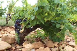 Der besondere Boden und die Steine sind das Geheimnis der kräftigen Weine rund um Chateauneuf du Pape