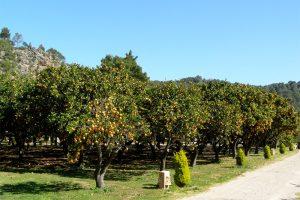 Orangenplantagen auf Mallorca - frisch gepresst vom Baum schmeckt die Frucht einfach am besten! Foto: Hans-Martin Goede