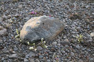 Raues Klima, karger Boden. Islands Flora und Fauna wächst langsam, Schäden durch den Mensch sind teils Jahrelang sichtbar!