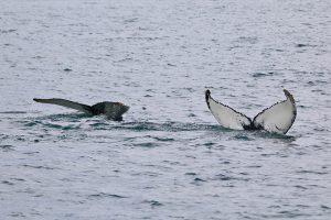 Fluken zweier Buckelwale
