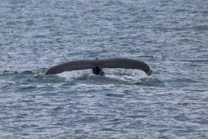 """der erhebenste Moment, wenn die Wale kurz vor dem Abtauchen zum """"Winken"""" ihre Fluke anheben!"""