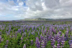 Lupinen auf Island, hier nahe Vik