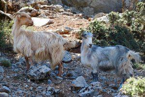 allgegenwärtig: die kretischen Ziegen