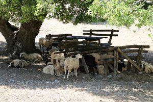 ... auch Schafe machen in der Mittagshitze gerne mal ein Schäferstündchen!