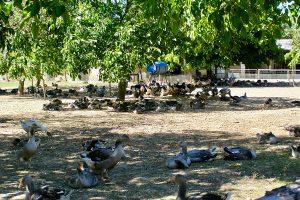 in Tursac kann man auf der Farm die Enten und Gänsezucht in den Freigehegen sehen