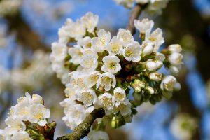 Kirschblüten im April - Frühlingsboten und Grundlage für die Kirschen im Juni