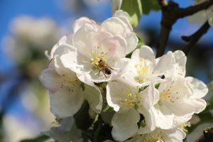 Apfelblüte + Biene + Apfel = Cidre