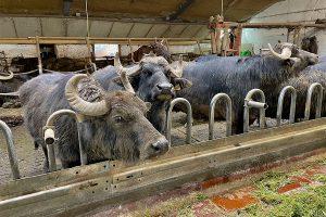 Büffel im Stall - immer noch ohne der die das